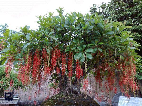 Lưu ý khi trồng cây Lộc vừng trước cửa nhà