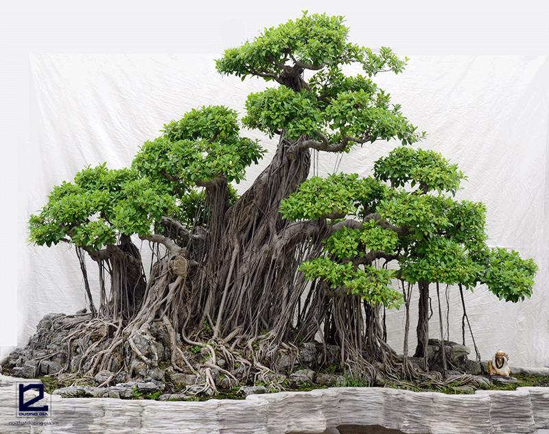 Trong phong thủy thì trồng cây Si trước nhà có tốt không?