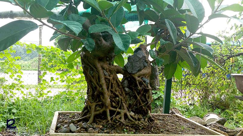 Về mặt thẩm mỹ có nên trồng cây Đa trước nhà không?