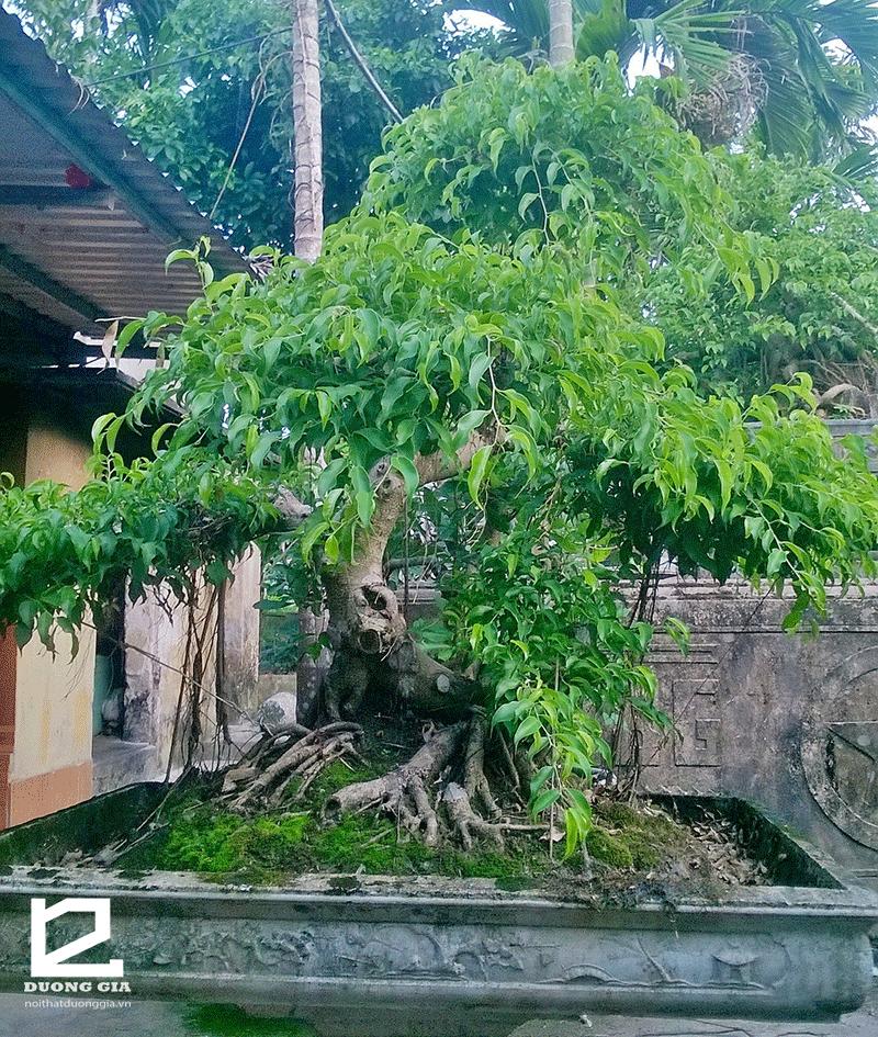 Lưu ý khi trồng cây Sanh trước nhà