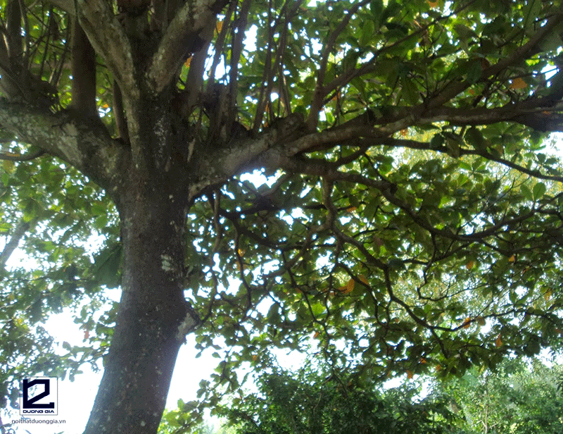Ý nghĩa của việc trồng cây Bàng trước nhà