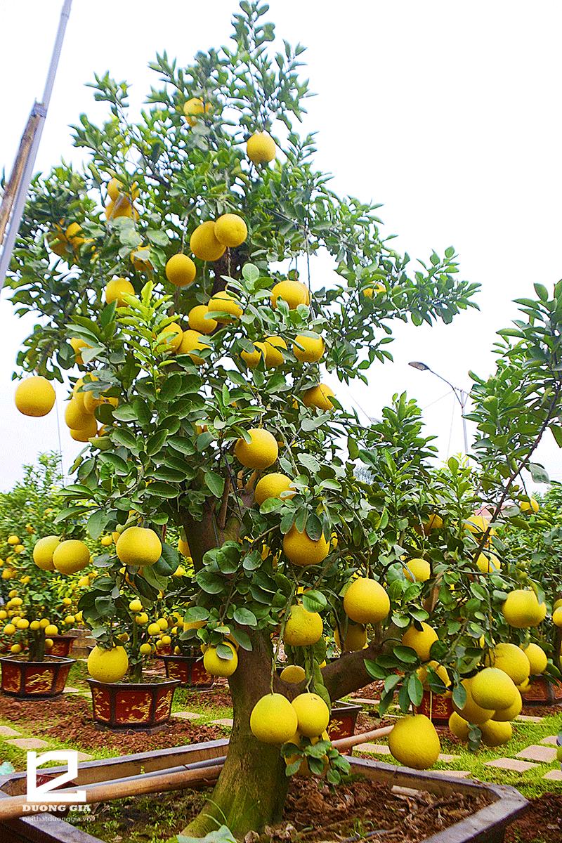 Ý nghĩa của việc trồng cây Bưởi trước nhà