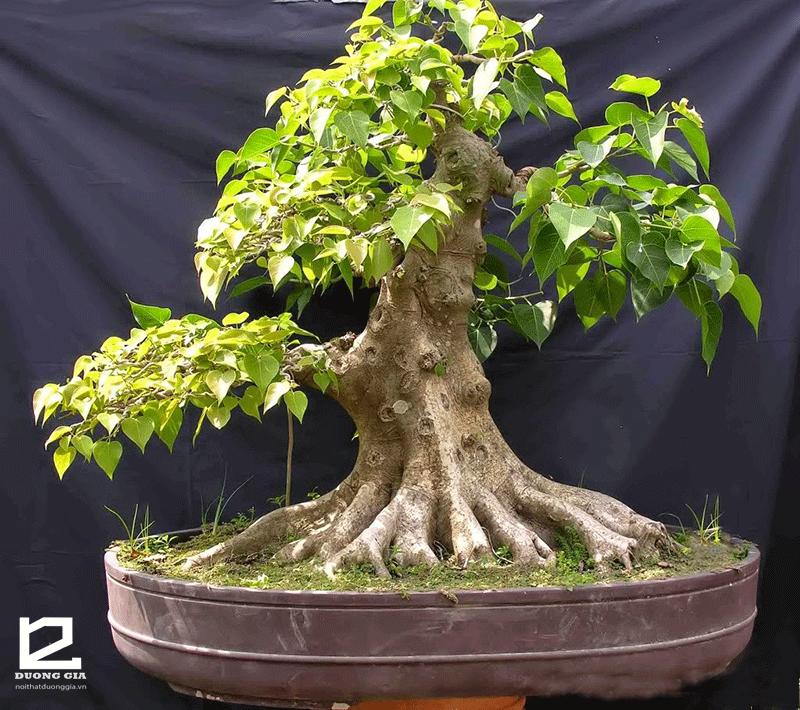Nếu sân nhỏ thì có thể trồng cây Bồ đề trước nhà dạng bonsai