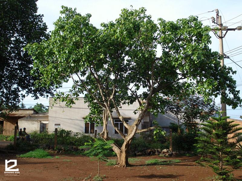 Ý nghĩa của việc trồng cây Bằng lăng trước nhà